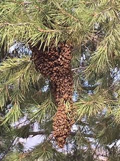 bees-halcon-buho-img_3425-240x360
